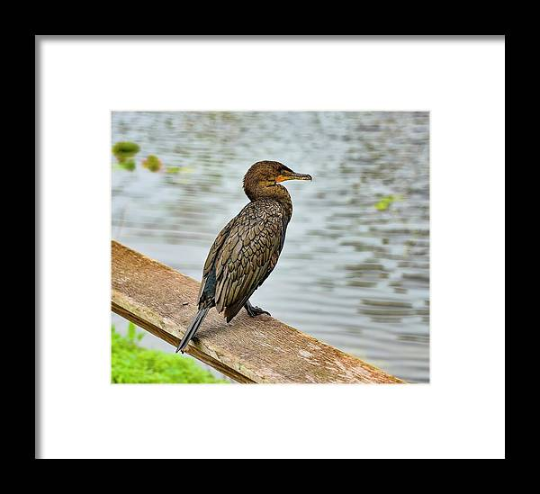 Bird Framed Print featuring the photograph Double-crested Carmorant by Bill Hosford