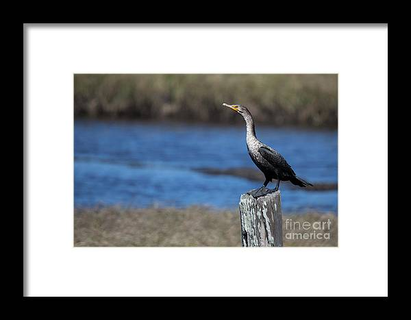 Double-crested Cormorant Framed Print featuring the photograph Double-crested Cormorant by Twenty Two North Photography