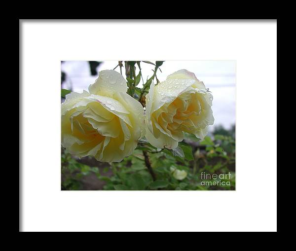 Dew Framed Print featuring the photograph Double Rainy Rose by Ian Michaud