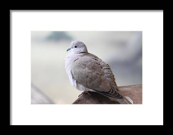 Bird Framed Print featuring the photograph Dove by Paul Slebodnick