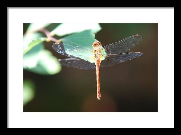 Insect Framed Print featuring the photograph Dragon Fly by Don and Sheryl Cooper