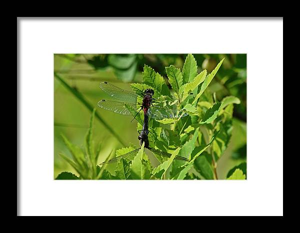 Rons Hebert Framed Print featuring the photograph Dragonfly 1 by Ron Hebert