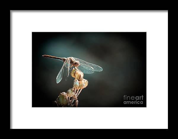 Dragonfly Framed Print featuring the photograph Dragonfly by Gabriela Insuratelu