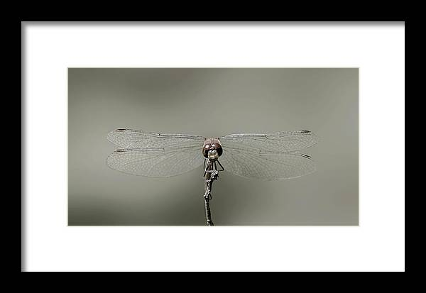Dragonfly Framed Print featuring the photograph Dragonfly In Drag by Janet Argenta