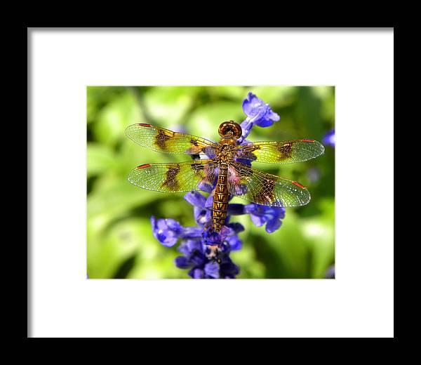 Dragonfly Framed Print featuring the photograph Dragonfly by Sandi OReilly
