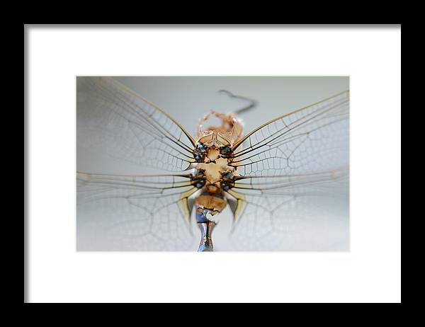 Macro Framed Print featuring the photograph Dragonfly skeleton by Paulina Roybal