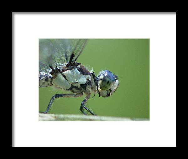 Dragonfly Framed Print featuring the photograph Dragonfly by Tina B Hamilton