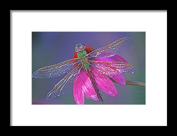 Dew Covered Dragonfly Rests On Purple Cone Flower Framed Print featuring the photograph Dreaming Dragon by Bill Morgenstern
