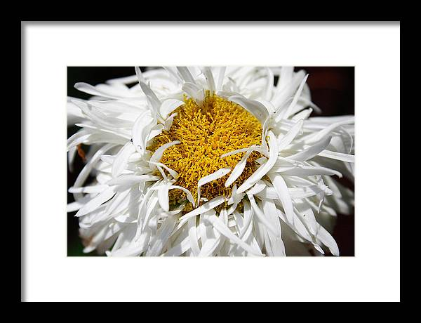 Daisy Framed Print featuring the photograph Dreams by Carol Hicks