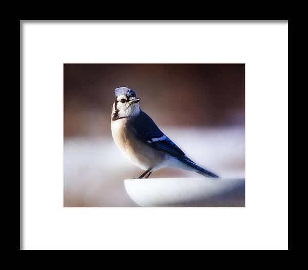 Bird Framed Print featuring the photograph Dreamy Blue Jay by Al Mueller