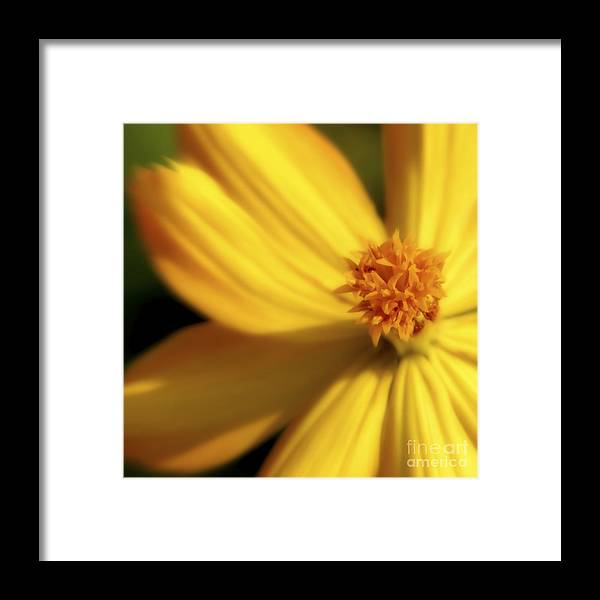 Yellow Framed Print featuring the photograph Dreamy Coreopsis by Jeannie Burleson