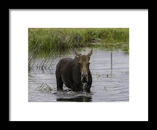 Cow Moose Framed Print featuring the photograph Drooling Cow Moose by Elizabeth Eldridge