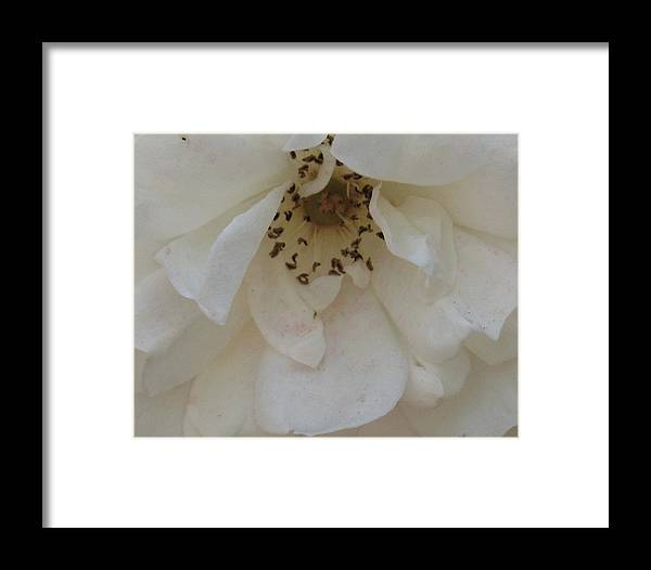 White Rose Framed Print featuring the photograph Drooping Rose by Judith Turner