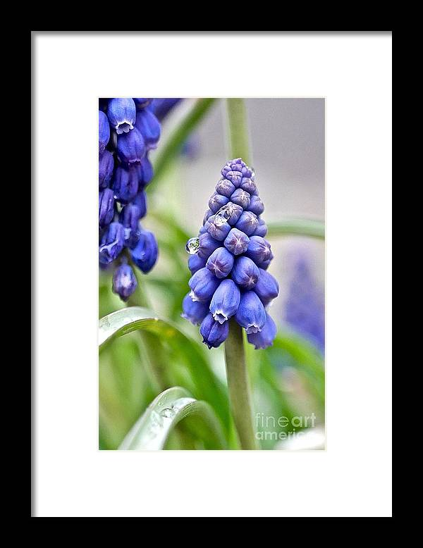 Grape Hyacinth Framed Print featuring the photograph Drops Met Hyacinth by Elisabeth Derichs