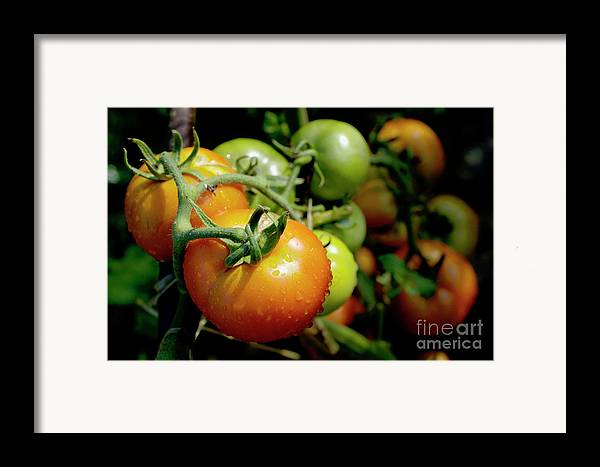 Drop Framed Print featuring the photograph Drops On Immature Red And Green Tomato by Sami Sarkis
