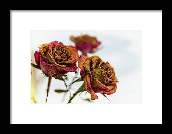 Framed Print featuring the photograph Dry Roses by Zbigniew Krol