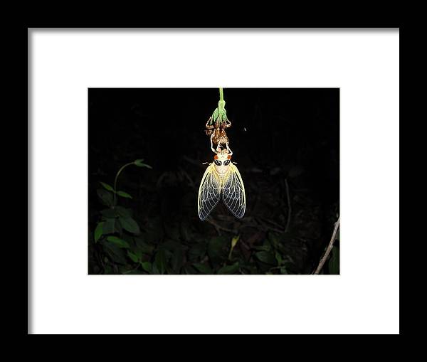 Cicada Framed Print featuring the photograph Drying Out by Matthew Christiansen