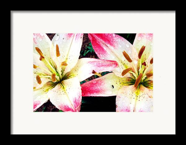 Macro Framed Print featuring the photograph Dual Pinks II by Amanda Kiplinger