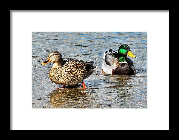 Duck Framed Print featuring the photograph Duck And Drake by Don Mann