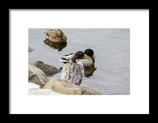 Duck Framed Print featuring the photograph Duck, Duck by Barbara Blanchard