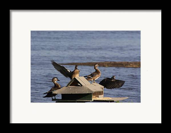 Ducks Framed Print featuring the photograph Duck Flyby by Jerry Patchin