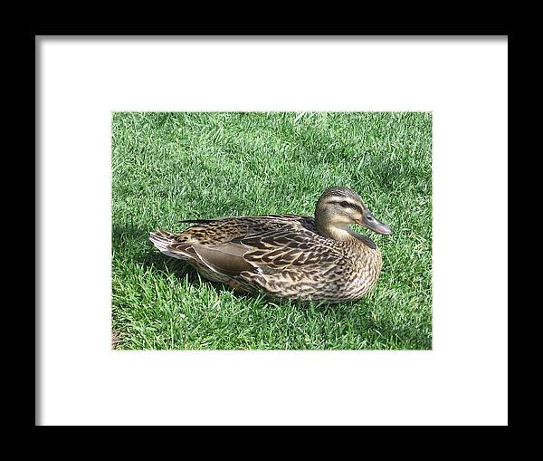 Duck Framed Print featuring the photograph Duck by Kathy Roncarati