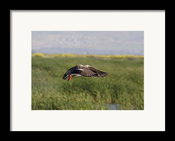 Water Framed Print featuring the photograph Duck Landing by Jerry Patchin