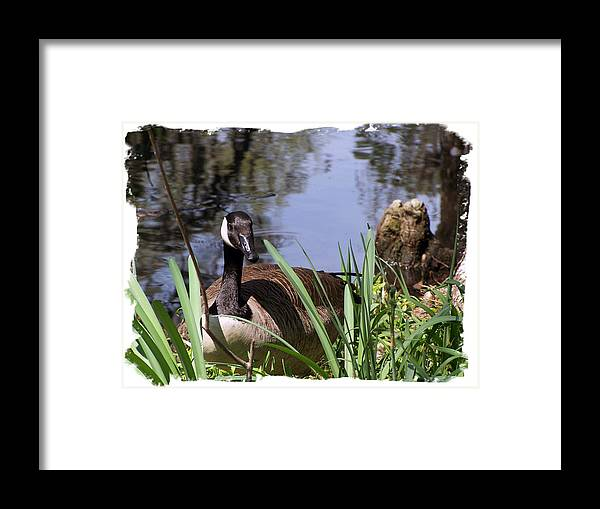Duck Framed Print featuring the photograph Duck by Ralph Perdomo