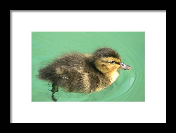 Duckling Framed Print featuring the photograph Duckling Close Up by Steve Somerville