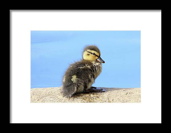 Duckling Framed Print featuring the photograph Duckling by Sue Feldberg
