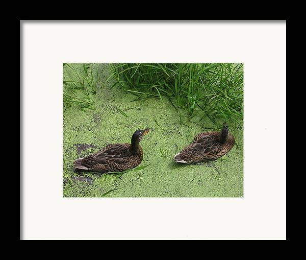 Duck Framed Print featuring the photograph Ducks In Pond by Melissa Parks