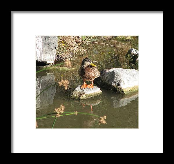 Duck Framed Print featuring the photograph Ducky by Kathy Roncarati