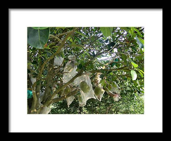 Durian Framed Print featuring the photograph Durian Tree Hong Kong by Kathy Daxon