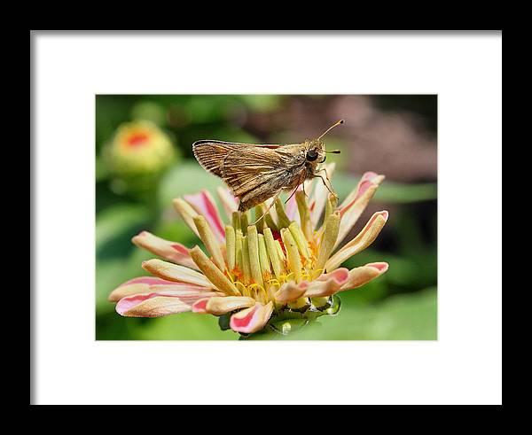 Butterfly Framed Print featuring the photograph Dusky Skipper On New Zinnea by Scott Bricker