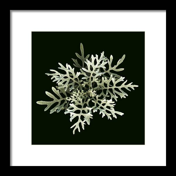 Scanography Framed Print featuring the photograph Dusty Miller by Deborah J Humphries