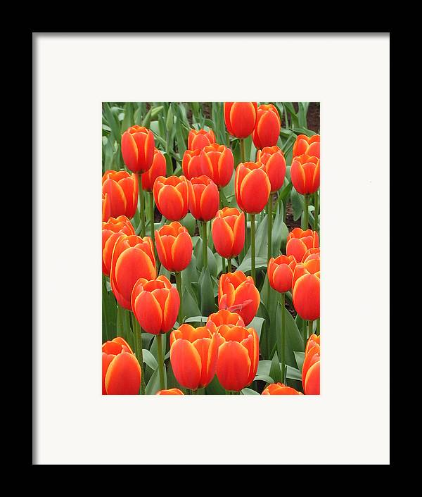 Netherlands Framed Print featuring the photograph Dutch Tulips by Charles Ridgway