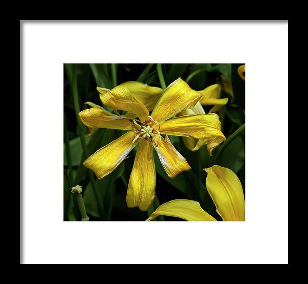 Nature Framed Print featuring the photograph Dying Yellowtulip by Robert Ullmann