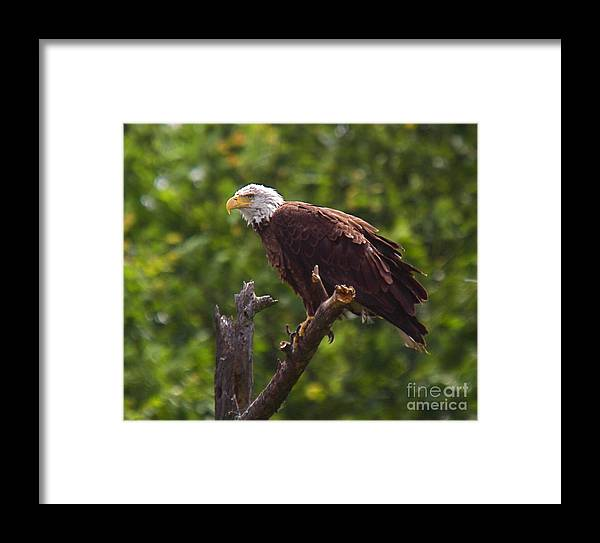 Eagle Framed Print featuring the photograph Eagle-2 by Robert Pearson
