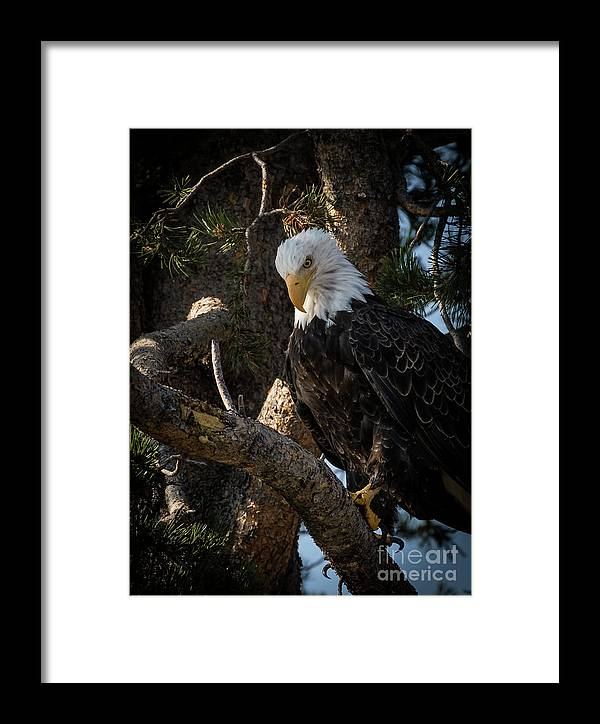 Eagles Framed Print featuring the photograph Eagle 2 by Webb Canepa