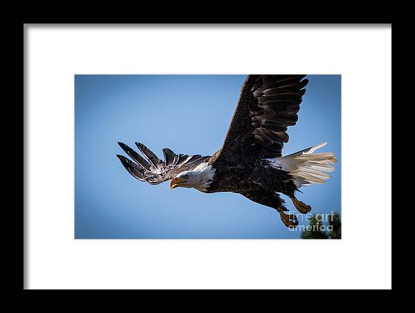 Eagles Framed Print featuring the photograph Eagle 3 by Webb Canepa
