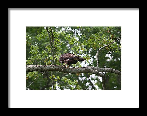 Eagle Framed Print featuring the photograph Eagle Eating A Fish by James Jones
