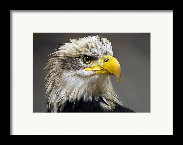 Eagle Framed Print featuring the photograph Eagle by Harry Spitz