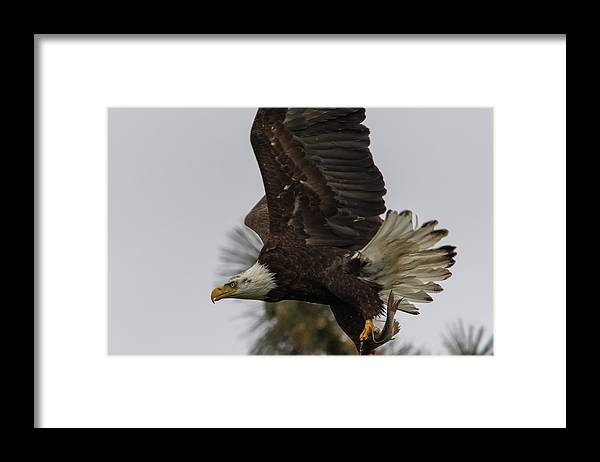 California Framed Print featuring the photograph Eagle In Flight With Fish by Marc Crumpler