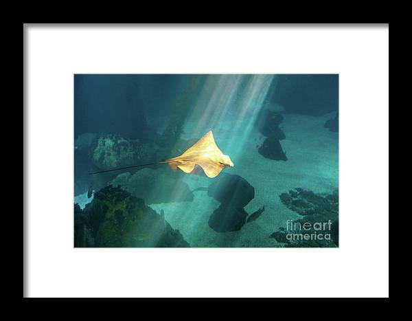 Underwater Framed Print featuring the photograph Eagle Ray Underwater by Benny Marty