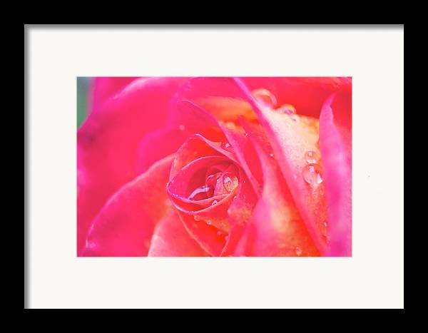 Rose Framed Print featuring the photograph Early Morning Rose by Ashley Balkan