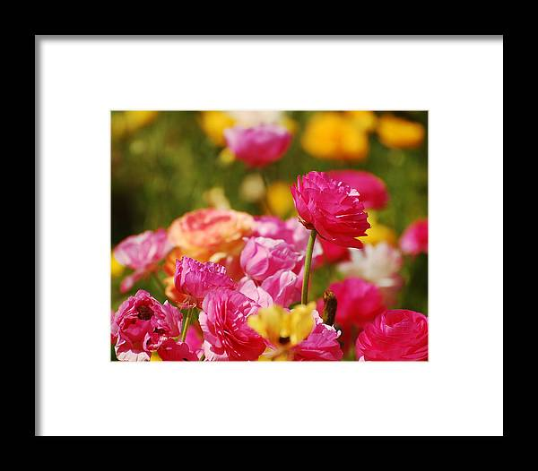 Carlsbad Flower Fields Framed Print featuring the photograph Easter Fields by Jean Booth
