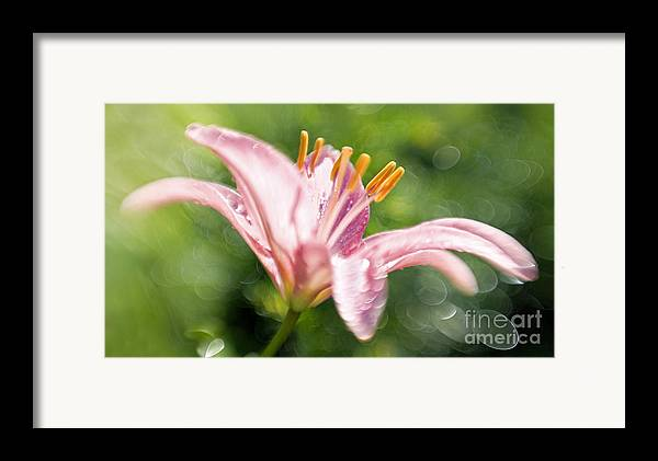 Easter Lily Lilium Lily Flowers Flower Floral Bloom Blossom Blooming Garden Nature Plant Petals Plants Grow Species Garden One Single 1 Petals Close-up Close Up Cultivate Botanical Botany Nature Framed Print featuring the photograph Easter Lily 1 by Tony Cordoza