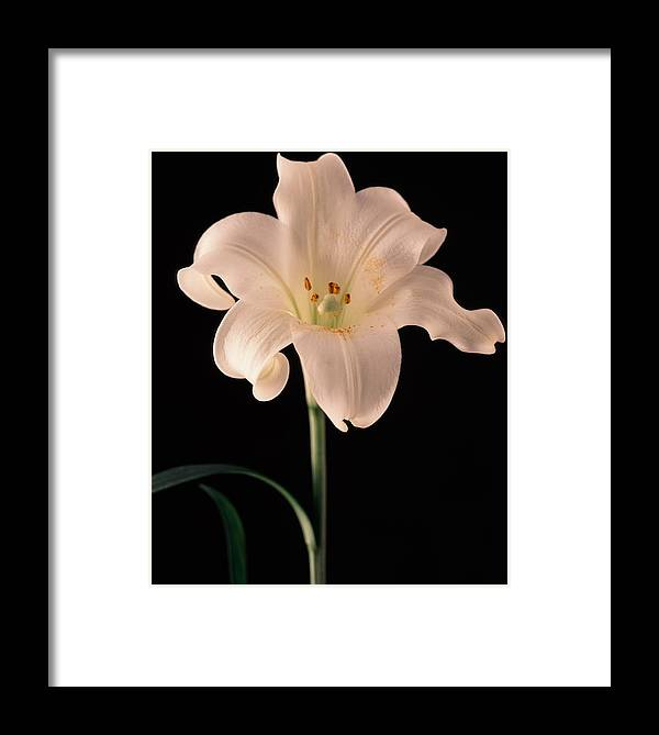 Flora Framed Print featuring the photograph Easter Lily 3 by Joseph Gerges
