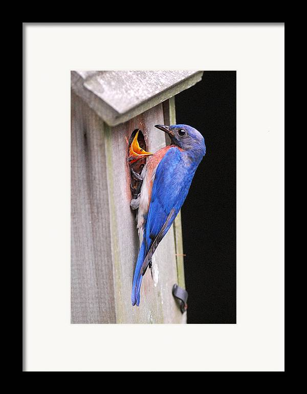 Songbird Framed Print featuring the photograph Eastern Bluebird And Chick by Alan Lenk