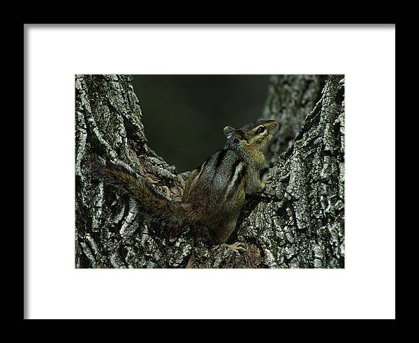 Eastern Chipmunk Framed Print featuring the photograph Eastern Chipmunk On Tree by Mark Wallner